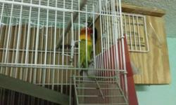 I have a pair of love birds I have a love bird yellow with orange nose and and a blue love bird they did have babies aleady. Comes with cage urgent! 150.00 for both. 75.00 for one.