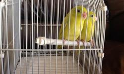 Parrotlets babies yellow split to Lutino & blue ready to new home, please call at