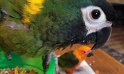 """This beautiful, sweet, friendly yellow collared macaw baby is almost weaned and ready for a new home. This baby bird is already speaking and saying """"step up"""", with the cutest voice! Northeast PA. We do ship for $125 if wanted/ needed. Any questions please"""