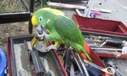6 yrs old talking/singing/laughing crazy Amazon you are always dreamed to have! She has a very expensive vocabulary, a few songs and a lot of animal impersonations.She is perfectly tame and likes to show off.. She is on a healthy diet and therefore in
