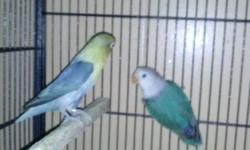 I have two yellow faces and one white sable split two yellow face for sale