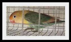 Yellow Face Fischer lovebird baby. just weaned handfed. Contact for price