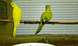 I have four yellow faced quakers that are weaned 9 weeks old, eating millet, cereal and veggies now.