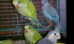I have several Yellow Faced Quaker Parrots for sale, they are very sweet and loving, some are starting to chatter already, the yellow faced are vary yellow when they reach adulthood after they molt, they are all Very spoiled and loved, eating millet,