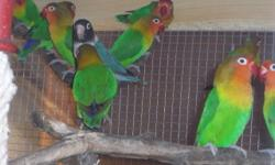 Some very nice yellow fischer lovebirds available now. Only 80 dollars each.