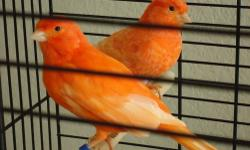 I have a hen waterslager canary for sale $80 She miss two toe. One on each side Still good for breed If you are interesting you can email me Thank you