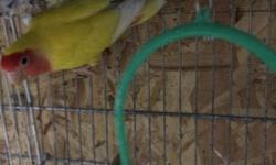 I'm selling beautiful Latino Lovebird (Yellow) for $75. I'm located in new jersey ,if interested please contact me Obo..