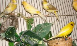 I have an adult yellow male canary for sale with cage. He is 1 1/2 years old and in very good health. The cage measures 6ft long, 2ft tall and 2ft wide, it is in perfect conditions. I am asking $150 for both the bird and cage If interested please call