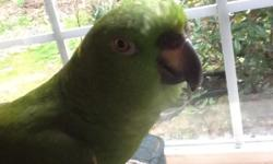 Paulie is a beautiful yellow nape amazon parrot,looking for a wonderful home,paulie loves to talk and sing,and is very friendly,once she gets to know and trust you,paulie is 7 years old and comes with her cage