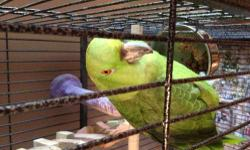 Hello We have a amazing amazon parrot... He or she has an amazing voice for words, he comes with his or her nice cage, toys and a bag of zupreem pellets. I hate to have to rehome him or her but he isn't getting enough attention now that i work 2 jobs....