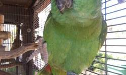Beautiful Yellow Naped Amazon female parrot named Gringo. She is very affectionate, loves attention, talks, very playful and can stay on her perch without needing a cage. 760-208-8199
