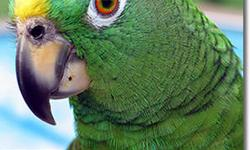 MY NAME IS CHARLIE, IM A YELLOW NATE AMAZON,IM VERY INTERTAINING BIRD, MY VOCABULERY IS OVER 1500 WARLDS, IM A TIPICAL AMAZON,I AM A VERY HAPPY BIRD & YOU WILL HAVE A LOT OF ENJOYMENT FROM AND WITH ME