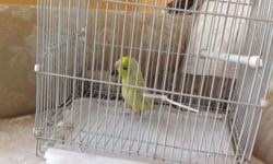 Parrotlet baby male 3 months old, only one left. Please call