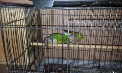 I have a proven pair for sale great parents will sit and feed .....great health and feathers please conract alex 786 290 4131..thank u