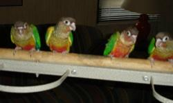 One 12 week old yellow side conure, hand fed and very tame. This bird is the last of a clutch of four. Temple/Waco area but can meet at a reasonable distance.