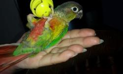 3 and a half month old green cheek conure very tame and lovable he likes to go with you has his DNA certificate very playful. For questions feel free to text or call 5622914833