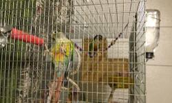 Proven pair of yellow sided green cheek conures for sale. Breeding season is right around the corner. $200.00 for the pair. DNA certificates Comes with their cage, breeding box and any accessories that are in their cage. They are bottle trained as well.