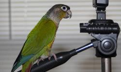 """This is Arnie, he's a 3 year old Yellow sided Green Cheek Conure. He is a very sweet and talkative bird. He comes with a HQ Flight Cage (Pictured), a Prevue Pet """"Parakeet & Lovebird"""" Cage (I used it for traveling), Two sets of dishes, and several toys and"""
