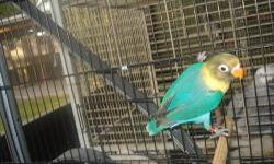 handfed yellowface masked and royal blue mask lovebirds from a double factor violet yellow face male and blue mask hen
