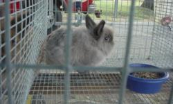 i have 3 females and one male lion head bunny for sale. all the females have produced nice litters. I am just getting out of rabbits . $15.00 ea. no ped. sold as pet quality.