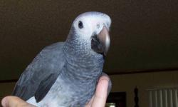 I have a young African grey Timeh baby, hand feed and super super sweet, going to make an awsome bird. Loves attention.....also starting to talk.