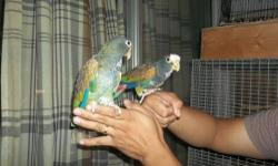 Young and Beautiful Handfed White Cap Pionus Serious inquiries only, Please call only or text, No Emails !