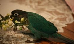 I have a young and proven pair of Turquoise Conures for sale. I am slowly reducing the size of my flock. Nice healthy pair.