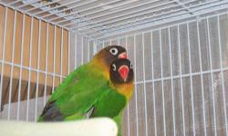 2 black-masked green lovebirds named Bob and Marley. They are in perfect feather( not scruffy or plucked). They are not hand-tamed. One pinches another one doesn't. They can be tame with some work. Must stay together. We were told that they are boy and a