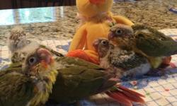 We have a young pair of pineapple conures available. They chose each other for mate. Should be a great producing pair. Will be ready to produce this winter....they have high red factor. Will make beautiful and sweet babies.