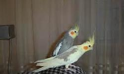BEAUTIFUL YOUNG FEMALE LUTINO COCKATIEL. NOT TAME