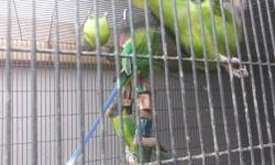 I have 3, 6 month old female moustache parakeets available, they were hand fed but have not been handled since weaning. $200 ea. I do ship.