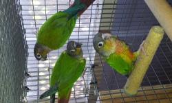 I have 3 young green check conures for sale. Two are heavy yellow sided and the other normal they are in best of conditions. $200 each plz contact on 3479939587