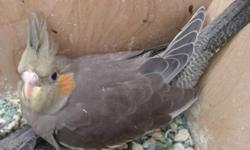 I have baby cocketiel birds for sale. Very friendly.