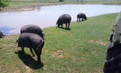 I HAVE 30 OR MORE LITTLE PIGS FOR SALE STARTING AT 65.00 EA. AND UP.. IF YOU HAVE NO PLACE TO KEEP A BIG HOG I CAN RAISE IT FoR YOU. ALL MY PIGS ARE FREE RANGE GRASS GRAZING PIGS. FED NO SLOP OR Processed FOOD. CALL 4794539251 Payments ok