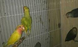 Hi, I have six young lovebirds for sale, they're four months old and not tame. 1- cinnamon $35.00 2- pied $35.00 3- sea green opaline $30.00 4- sea green split to pied, cinnamon and lutino $25.00 5- two mauve $20.00 each one This ad was posted with the