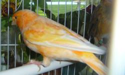 Beautiful male canary. He just started to sing. He is a really nice yellow-orange mosaic. Text or email for more information.