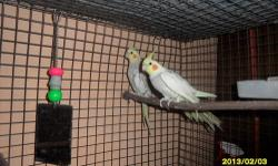"""2 sibling male cockatiels-- """"Raisin"""", a silver/cinnamon pearl pied, and hatched Sept. 22, 2012. One wing as a little droppy from an accident. $50 """"Blurr"""", a silver/cinnamon pearl, hatched Sept. 22, 2012 and absolutely LOVES to whistle. $55 Their parents"""