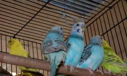 young parakeets of various colors, male and females, no shipping ,must pick up in Bronx NY 865 East 167 st near Prospect Ave.