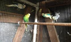 We have 6 young parakeets they are the last of them we are asking $60 for all no cage