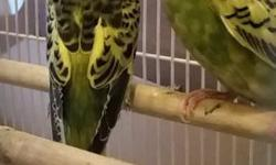 We have two young parakeets available. They started fledging from the nesting box in late November. We can trim their wings before sending them home if desired. Different variations of yellow and green available. Birds are $10 each. If purchasing two or