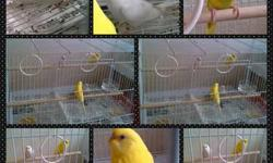 I have (4) young parakeets for sale, plus medium size cage. The parakeets are the following color (1) Lutino with red eyes, (1) Yellow with a bit of light green on the belly, (1) Albino with red eyes, and (1) Albino with black eyes. Asking $70.00 OBO, if