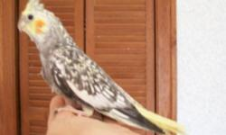 """Young pearl cockatiel for sale, I'm pretty sure its a girl. She was not hand-raised, because she was an """"only child"""" and I did not want to take her away from her flock by herself when she was a baby. I have been handling her since she was hatched. She"""