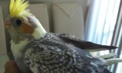 Beautiful young Pied Cockatiels. April hatch, parent raised. $40 each.