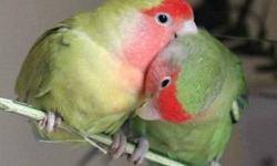 About a 4 year old pair of cockatiels. Last clutch was of 4 colorful birds (one was grey with a white head-gorgeous!). Change in home plans forces sale - offers considered....