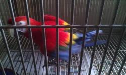 Young male scarlet macaw. Can be noisy. Will take some time to warm up to you. Healthy. Full feathered. Not interested in trades. Not negotiable. Must have your own cage.