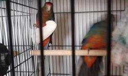 I have only 2 left I believe 1male and 1female, color is not fully in until they are about a year old, these birds are 7 months old. Best offer. Or willing to trade for a male tourqousine or male scarlet chested parakeet for one Rosella. If interested