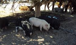 I HAVE 1 YEAR OLD FEMALE BLACK COLOR POT BELLY PIG IS CAN GO TO GOOD HOME.. THE PRICE IS $50/EA CASH ONLY, MUTI DISCOUNT AVAILABLE IF YOU TAKE MORE THEN 2. PLEASE CALL FOR APPOINTMENT IF YOU ARE INTERESTED @480 655 6144, NO TEXT OR EMAIL PLEASE, THANKS!