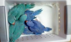 Young unsexed violet and blue ringnecks still handfeeding will be ready by Mother's Day. $400 for violets, $200 blues. Taking deposits and will hold until fully weaned. Please phone me at 623.979.1423 or e mail. No Texts. THE BLUE BABIES ARE SOLD.