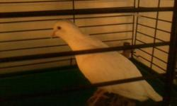 I have a pair of young doves.$10 ea. Located 38 miles west of Winchester, VA or 25 mins west of Wardensville, WV