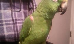 """3 year old large female yellow crowned amazon parrot. Super sweet bird, talks and whistles. She is missing the toes on her left foot due to previous owners choice in """"bird toys"""" but that doesnt slow her down. She can climb, perch, sit on your shoulder"""